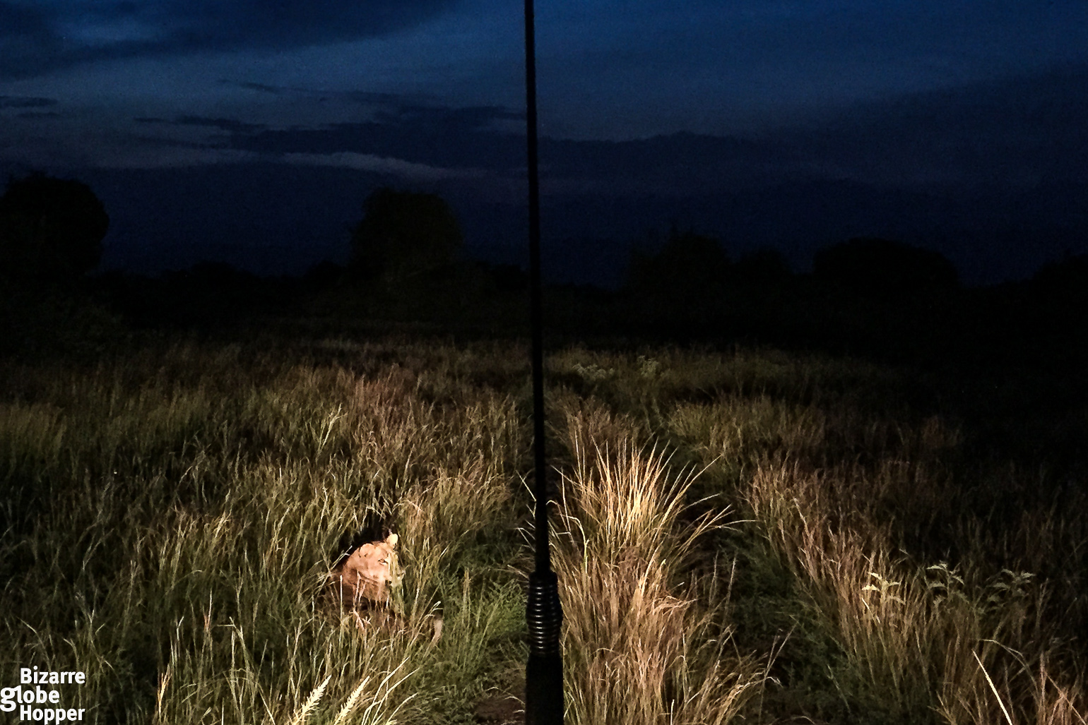 Lion on a night game drive in Queen Elizabeth National Park, Uganda