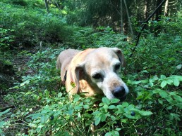 Our beloved dog is picking blueberries in Keskuspuisto (Central Park)