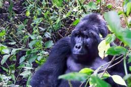 Big Mountain gorilla in Bwindi Impenetreable Forest National Park, Uganda