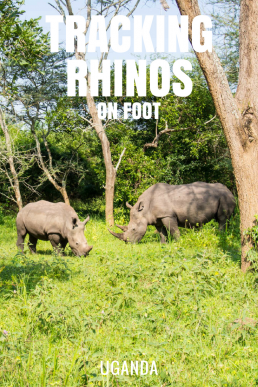 Would you dare to track down rhinos on foot? We followed a ranger to see our first white rhinos from zero distance.