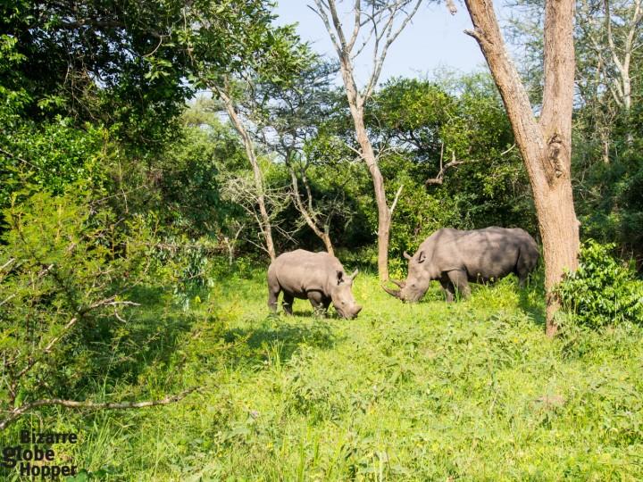 White rhino walking safari in Ziwa Rhino Sanctuary, Uganda