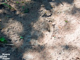 White rhino footprint in Uganda