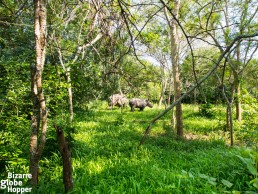 White rhinos roaming free in their natural habitat in Ziwa Rhino Sanctuary, Uganda