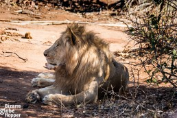 Dominate male lion in Lower Zambezi National Park, Zambia
