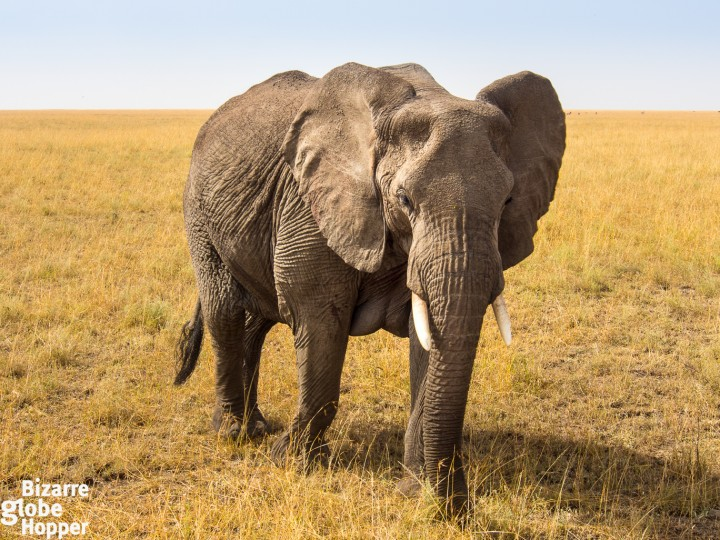 Finding elephants in Serengeti National Park, Tanzania
