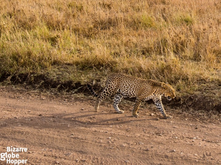 Watching leopards from zero distance in Serengeti National Park