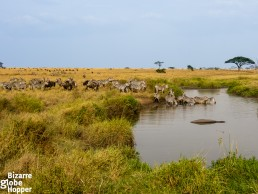Great migration passing through Serengeti in March