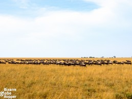 How to find the great migration in Serengeti in March