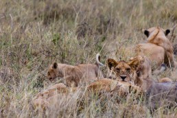 Lion family in Serengeti National Park, Tanzania