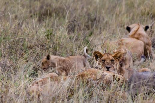 Lion family in Serengeti National Park, Tanzania