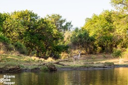 Kudu drinking on the shore of the Zambezi River