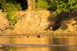 Watching hippos on a canoe safari, Lower Zambezi National Park