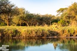 Baboons drinking at Zambezi River, Lower Zambezi National Park