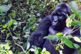 A huge mountain gorilla looking at us in Bwindi Impenetrable Forest National Park in Uganda.