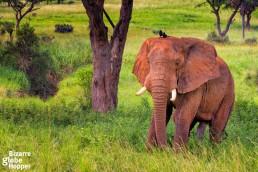 Lonely elephant in Murchison Falls National Park, Uganda