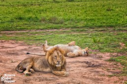 Lion couple in Murchison Falls National Park, Uganda