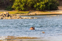 HIppos cross Mayukuyuku Tented Camp each night and growl in the river during the day