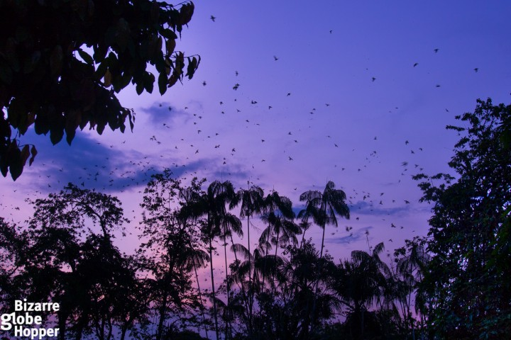 Thousands of parrots arriving at Leticia's Parque Santander just before sunset