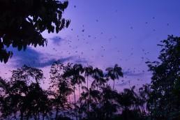 Parrots arriving at Parque Santander, Leticia, just before sunset