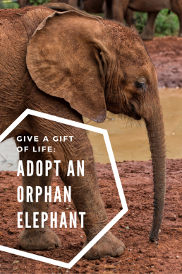 Give a gift of life - adopt an orphaned elephant! We visited The David Sheldrick Wildlife Trust's orphanage in Kenya and decided to foster a baby elephant.