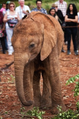 Baby elephant socializing with tourists at The David Sheldrick Wildlife Trust