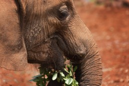 Orphan elephant having a green snack in The David Sheldrick Wildlife Trust's Nursery, Kenya