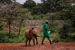 Hungry elephant following the Keeper and his milk bottle in The David Sheldrick Wildlife Trust, Kenya