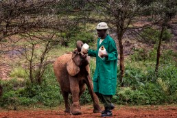 Green-coated Keeper feeding a baby elephant with the secret milk recipe created by The David Sheldrick Wildlife Trust