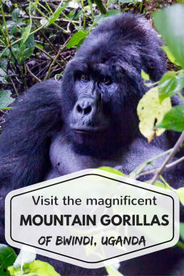 Magnificent mountain gorilla in Bwindi Impenetrable Forest National Park, Uganda