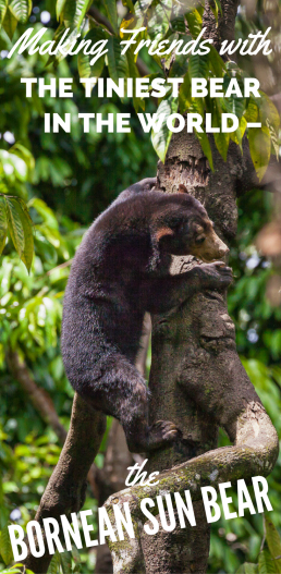 Making Friends with the Tiniest Bear in the World, the Bornean Sun Bear