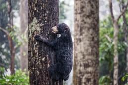 A Bornean Sun Bear climbing to a tree in the rain in BSBCC, Sabah, Malaysia