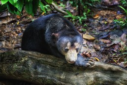 A Bornean Sun Bear called Loki in the Bornean Sun Bear Conservation Center in Sabah, Malysia