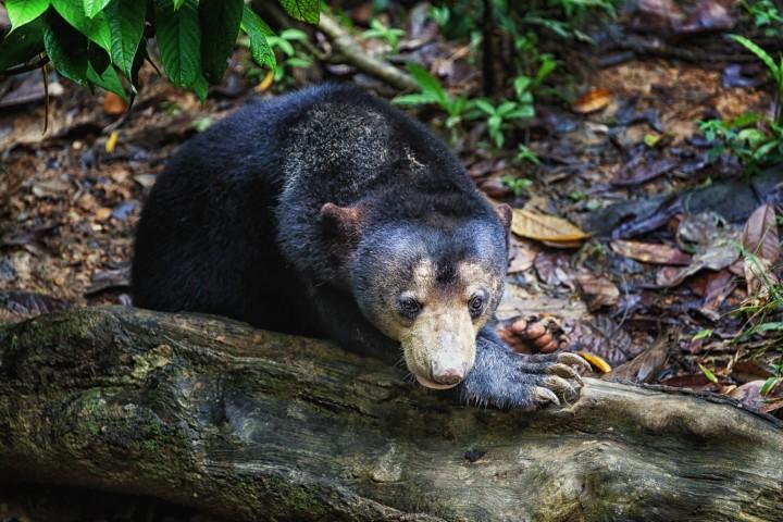 A Bornean Sun Bear called Loki in the Bornean Sun Bear Conservation Center in Sabah, Malysia