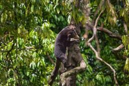 Happy Bornean Sun Bear in a tree in Sabah, Malaysia