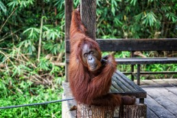 An Orangutan Thinking in Semenggoh Orangutan Center, Malaysian Borneo