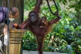 Orangutan at the feeding platform of Sepilok Orangutan Rehabilitation Centre, Malaysian Borneo