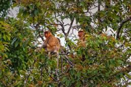 Proboscis Monkeys by Kinabatangan River, Malaysian Borneo