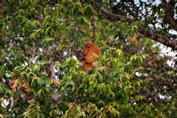 A baby proboscis monkey at the Kinabatangan River in Malaysian Borneo.