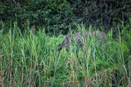 Bornean Pygmy Elephant in the bush at the Kinabatangan River in Malaysian Borneo.