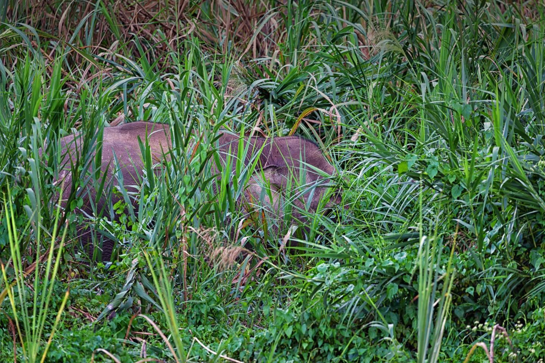 Bornean Pygmy Elephant in the bush at the Kinabatangan River in Malaysian Borneo.