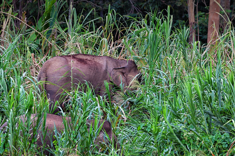 Bornean Pygmy Elephants at the Kinabatangan River in Malaysian Borneo