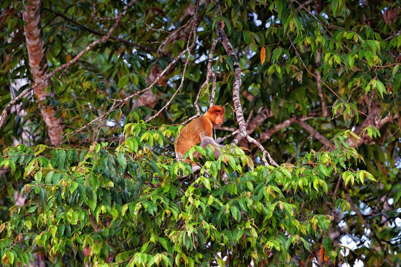 A Proboscis monkey at the Kinabatangan River in Borneo.