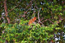 A Proboscis monkey at the Kinabatangan River in Borneo.