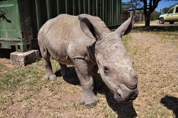Ringo the rhino on the 15th of February, 2015, at the Ol Pejeta Conservancy in Kenya.