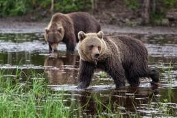 Bears at Kuntilampi, Kuusamo.
