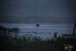 A bear enjoying a night swim at Kuntilampi, Kuusamo, Finland.