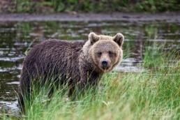 Hittavainen the bear looks into the camera. Kuusamo, Finland.