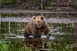 Hiitavainen the bear in Kuusamo, Finland.