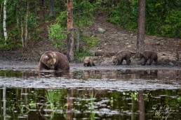 Hittavainen the bear with her three cubs at Kuntilampi, Kuusamo, Finland