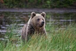 A portrait of a bear called Hittavainen, Kuntilampi, Kuusamo, Finland.